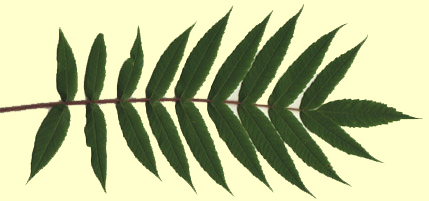 leaf of Rhus typhina (staghorn sumac)